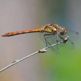 vážka obecná - starší sameček
