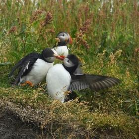 obrázky z islandské přírody 36 aneb ... dva se líbají a dva zírají