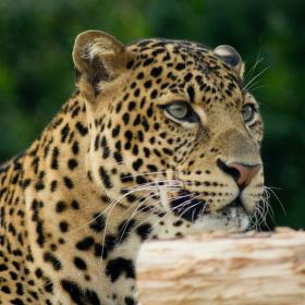 Leopard v Zoo Praha