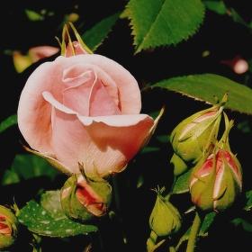 ROSE IN PUCK