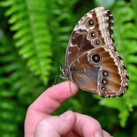 Ochočený motýl