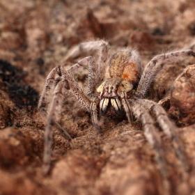 Pavoučí stařenka