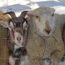 Koza a ovce