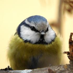Modřinka - sýkorka