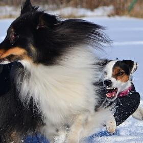 Parson russell terrier vs. šeltia