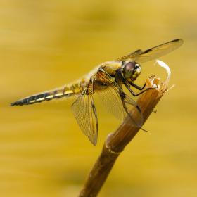 Vážka čtyřskvrnná