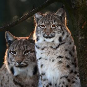 Lynx lynx