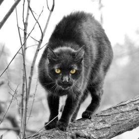 Puma kočičí