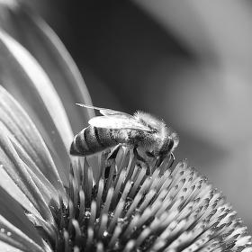 Pilná včelka.