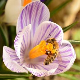 Včela a krokus