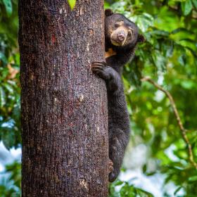 Sun bear - medvěd malajský