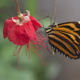 tygřík motýlový