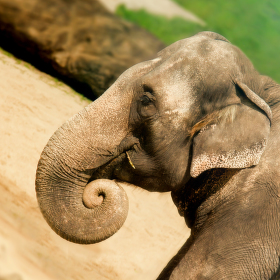 Elephant profile