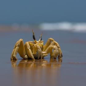 Odvážný krab