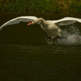 vzlet labutě
