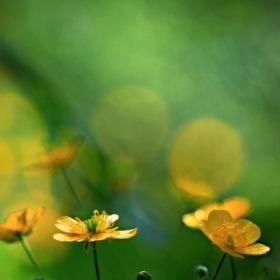 Žluté květy Luci