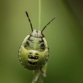 Palomena viridissima (Poda, 1761) - kněžice zelená (nymfa)