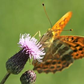 motýl Agraulis vanillae