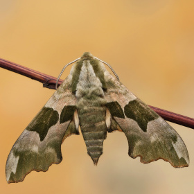 Lišaj lipový (Mimas tiliae)
