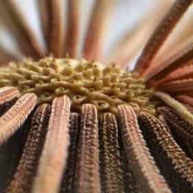 Kozí brada luční   ( Tragopogon pratensis)