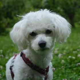 Boloňský psík Jessy