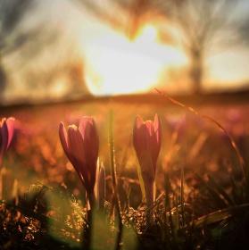 Šafrán bělokvětý v záři zapadajícího Slunce