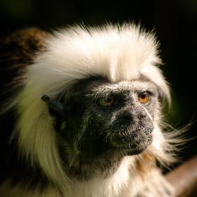 Opičí portrét