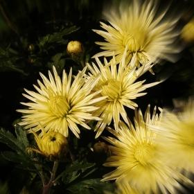 CHRYZANTÉMA /Chrysanthemum/
