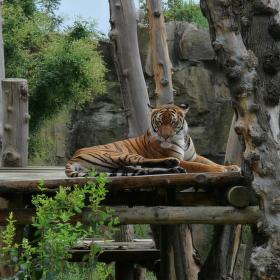 tigrík