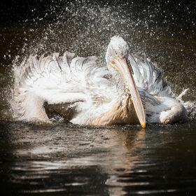 Pelican Bathing