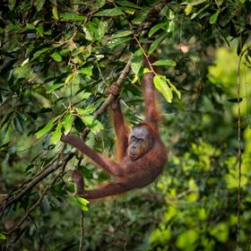 Volně žijící orangutan