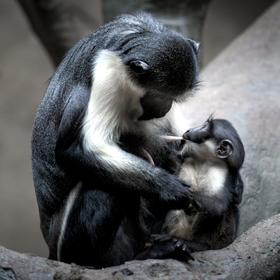 Opičí miminko