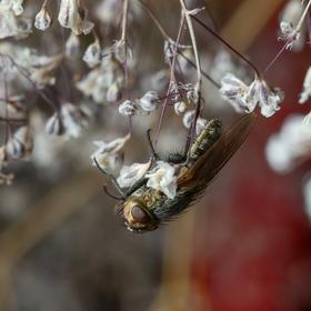 Moucha domácí (Musca domestica)