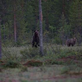 Medvěd hnědy