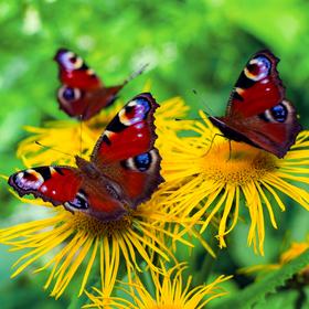 Motýlů sešlost
