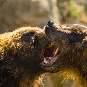 Laškující medvědi