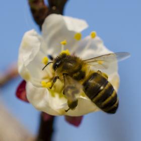 včelka na lupu