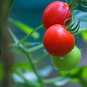 Rajčata po dešti
