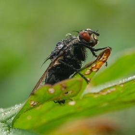 Moucha v rouše ranní rosy