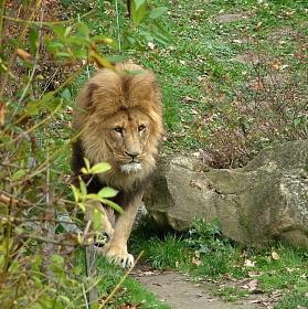 Král zvířat v  ZOO