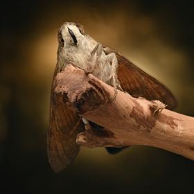 Lišaj marinkový