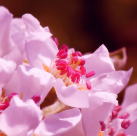 Jarní růžová..