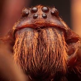 Palovčík středoamerický