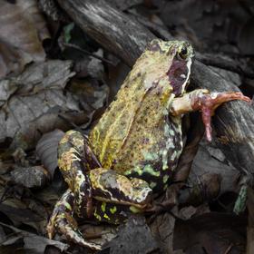 žabka v lese