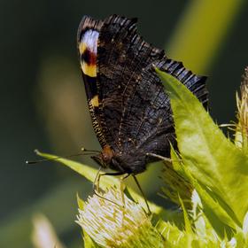 Motýlková.