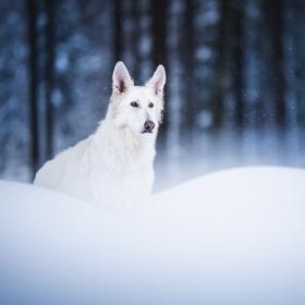 Aru ve sněhu