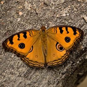 Motýl ll