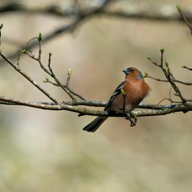 Pěnkava obecná/Common chaffinch (Fringilla coelebs)