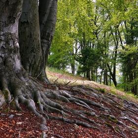 Kořeny mohutných buků