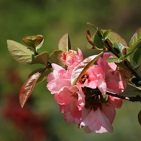 Růžové jaro